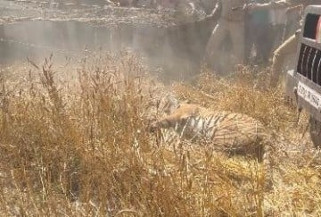 Tiger kills farmer in nighasan