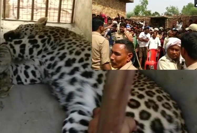 leopard entered in villager's home in bahraich
