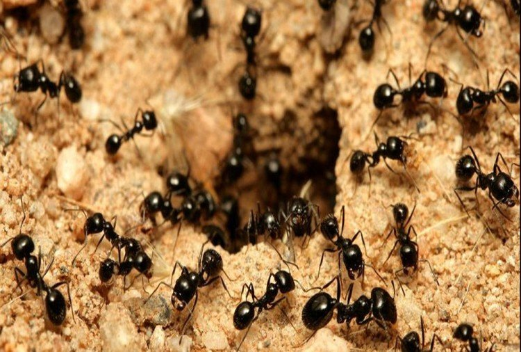 Amazing Home remedies to get rid of ants