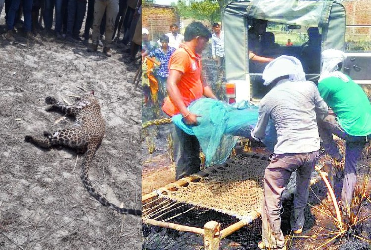 villagers killed leopard and then burn it in bahraich