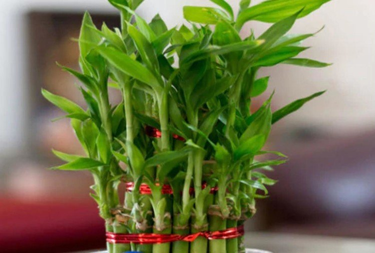 according to feng shui keep these plant in office and home bring prosperity and good luck