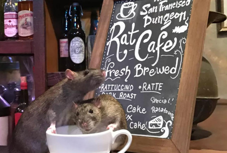 this cafe offers you coffee with playtime with rats