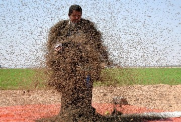 Man with Bees at tabuk in Saudi Arabia
