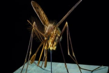 Natural home remedies to get rid of dengue malaria mosquitoes