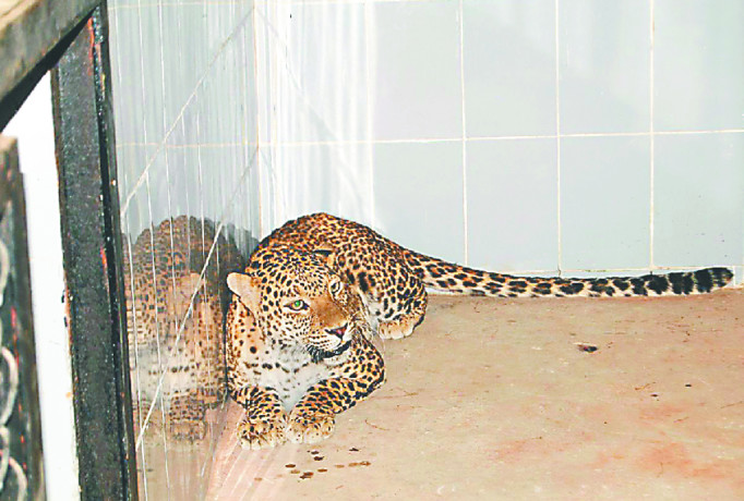 लायन सफारी की दवाइयों से होगा गुजरात के बीमार शेरों का इलाज