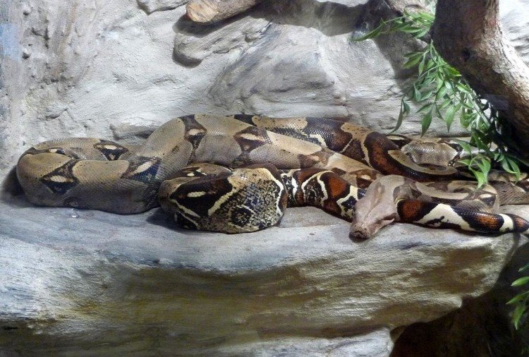 Female Boa Constrictor Species Snake No Need Males to Reproduce