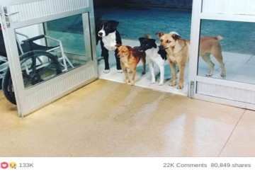 When Homeless Man was Admitted in Hospital, His Four Street dog friends waiting outside hospital