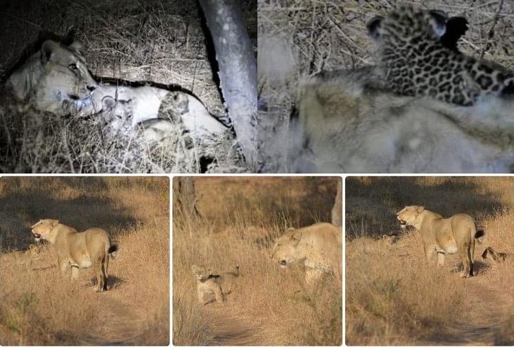 तेंदुए के बच्चे काे शेरनी ने पिलाया दूध