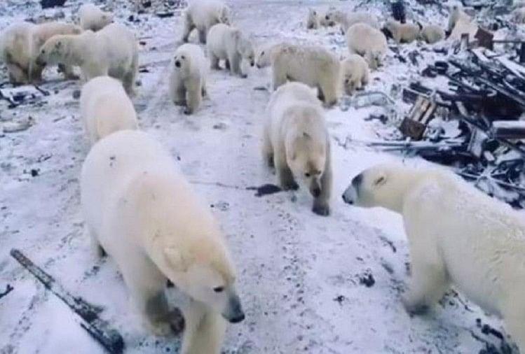 Polar bear sean on roads in residential areas of Russia, emergency declared