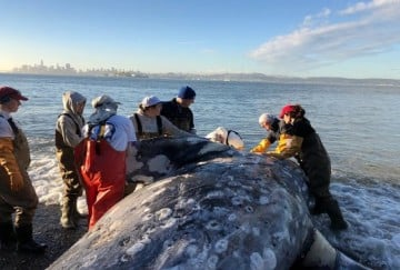 dead whale found with 40kg of plastic bags in its stomach in philippines