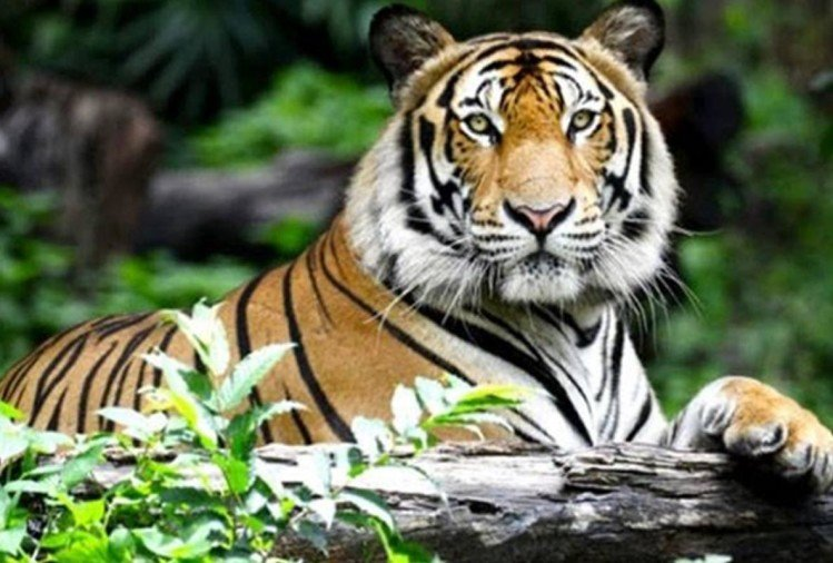 Panic In Sonbhadra Due To Tiger Sighting In Madhya Pradesh Forest Department Team Monitoring With Drone - एमपी और यूपी में दहशत: भरसेड़ा जंगल में टाइगर जोड़े की दस्तक से ग्रामीणों में