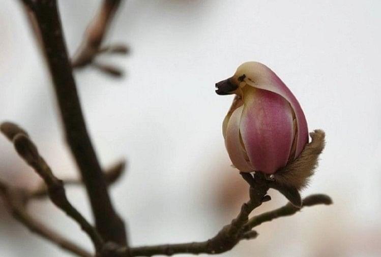 Magnolia Flower Looks Like Pretty Little Bird In Beijing Of China