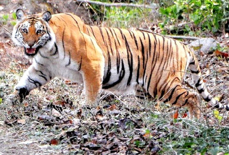 Son fight with Tiger after Attack on his father in ramnagar