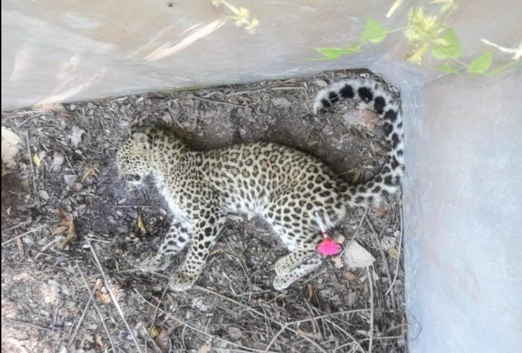 Leopard cub Dies due to hunger in Pithoragarh