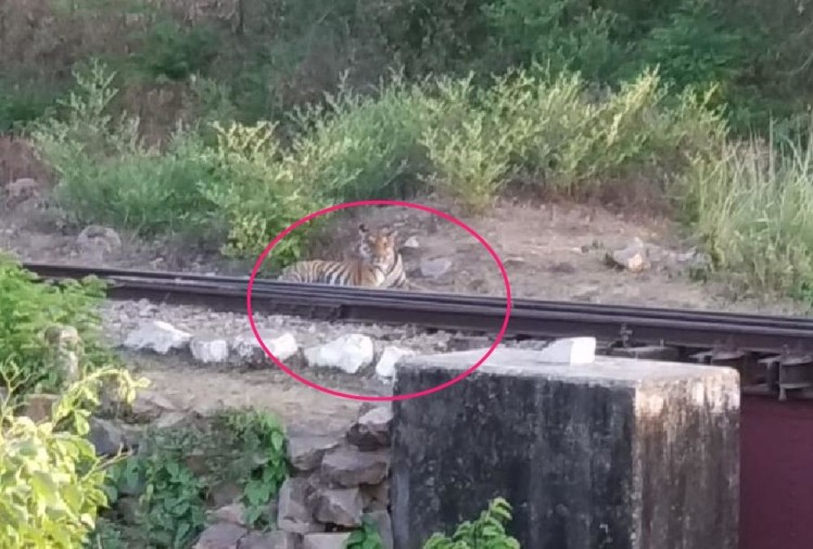 A tiger sits on a railway track in bahraich.