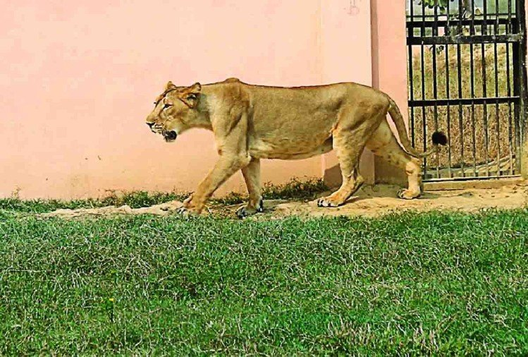 Image result for lions at etawah safari inauguration