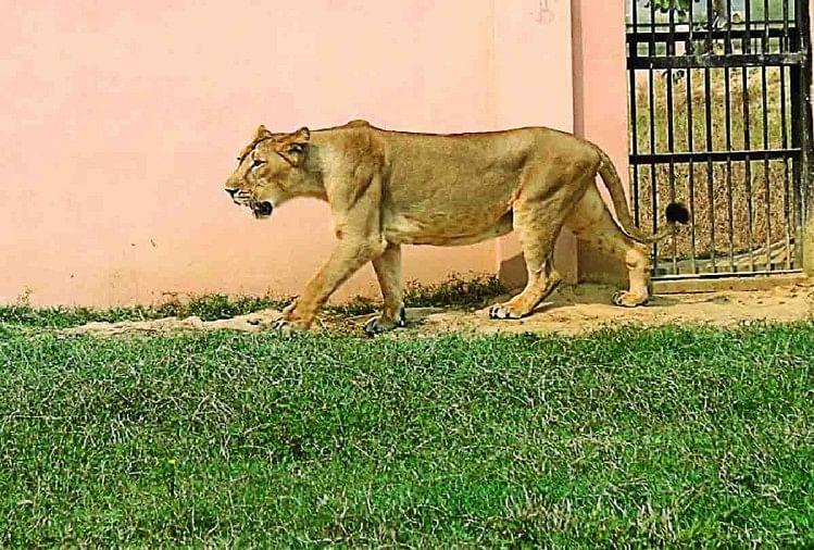 Image result for lions at etawah safari inauguration
