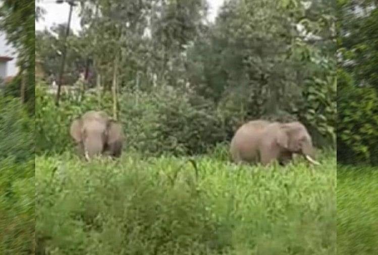 उत्तर प्रदेश के बरेली जिले में मंगलवार भोर जंगली हाथियों ने बांकेगंज कस्बा से सटे पसियापुर गांव के खेतों में जमकर मचाया उत्पात। हाथियों के उत्पात से कई किसानों की धान और गन्ने की फसल उजड़ गई।
