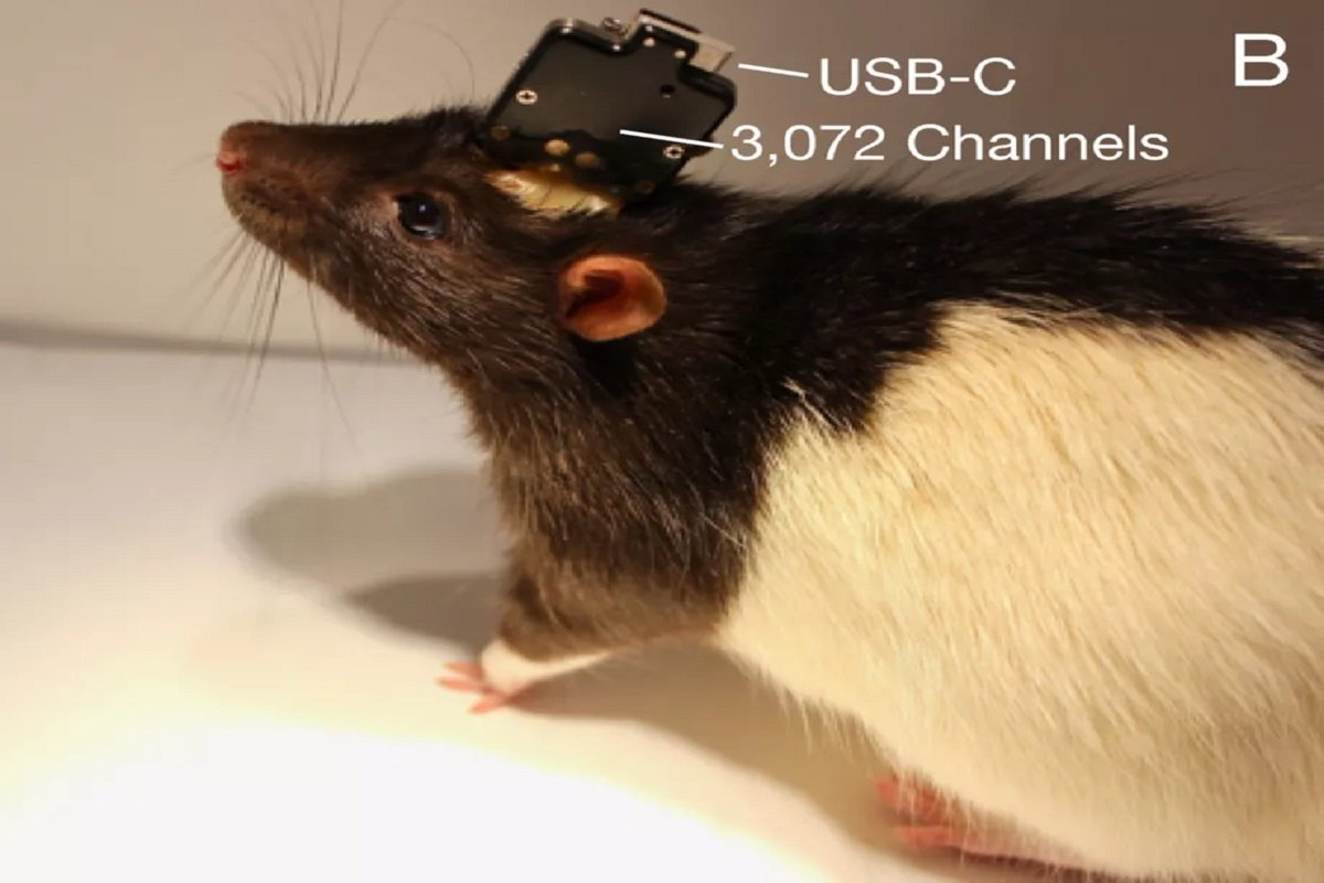 Neuralink's system embedded in a laboratory rat.