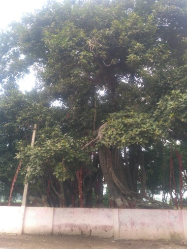up government  count 100 years old tree