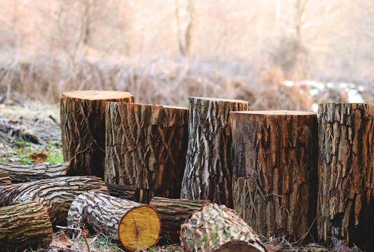 पेड़ कटान मामले में रविवार को एसडीएम गोला ने फिर से जांच की। दो तहसीलों में छोटे-बड़े कुल 419 पेड़ काटे गए।