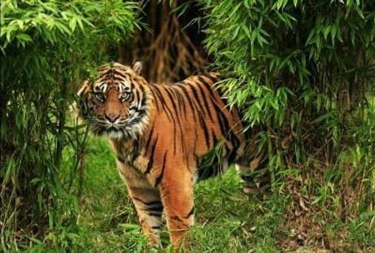 प्राकृतिक सुंदरता से भरपूर तराई के जंगल को टाइगर रिजर्व का दर्जा मिलने के बाद बाघों का कुनबा भी बढ़ा है।