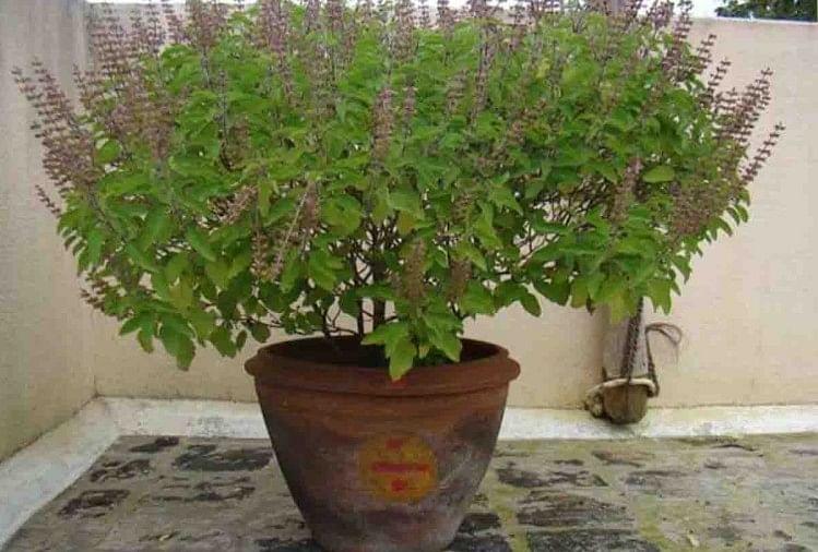 तुलसी पौधा