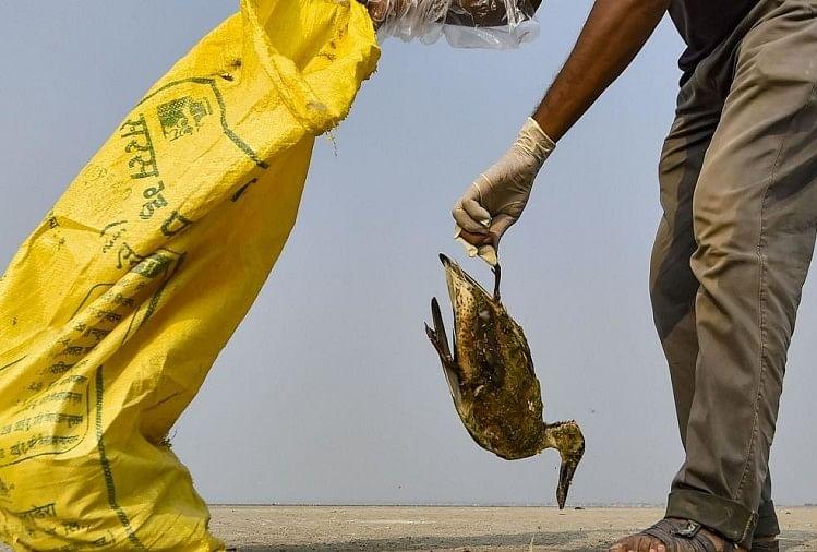 राजस्थान के सांभर लेकर में रहस्यमयी कारण से मर रहे पंछी