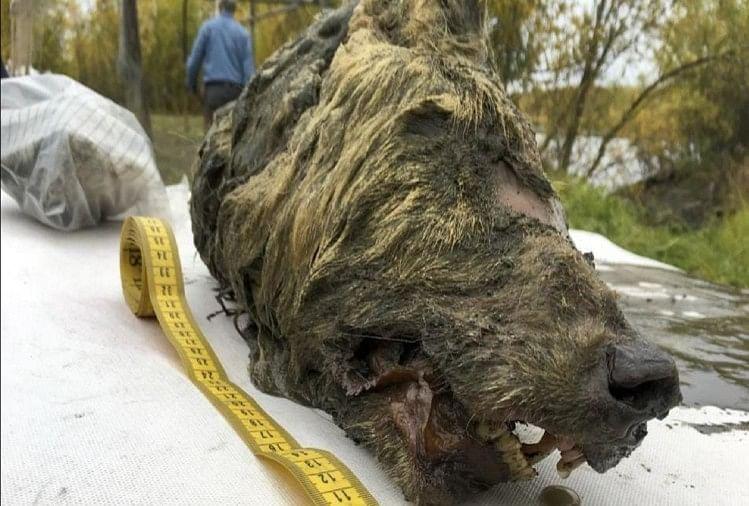 40000 साल पुराने भेड़िए का सिर