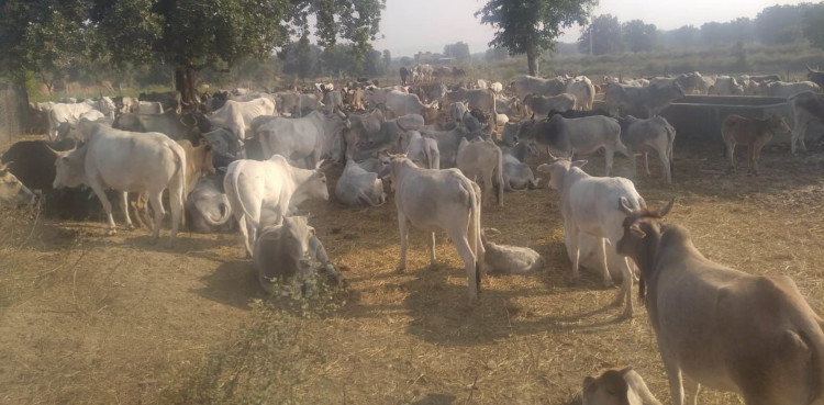 Anna cattle run away from cow shed 115 bigha crop