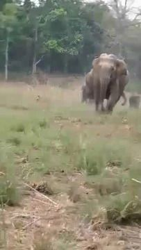 पर्यटको की जिप्सी के पीछे दौड़ा हाथी