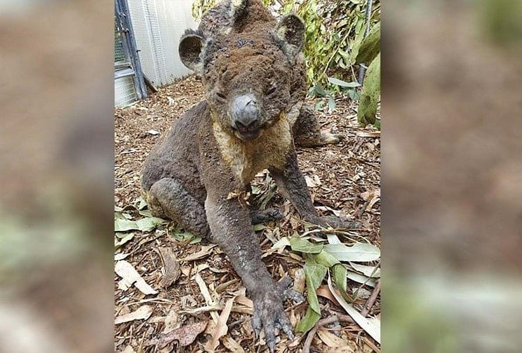जंगल की आग में झुलझा कोआला