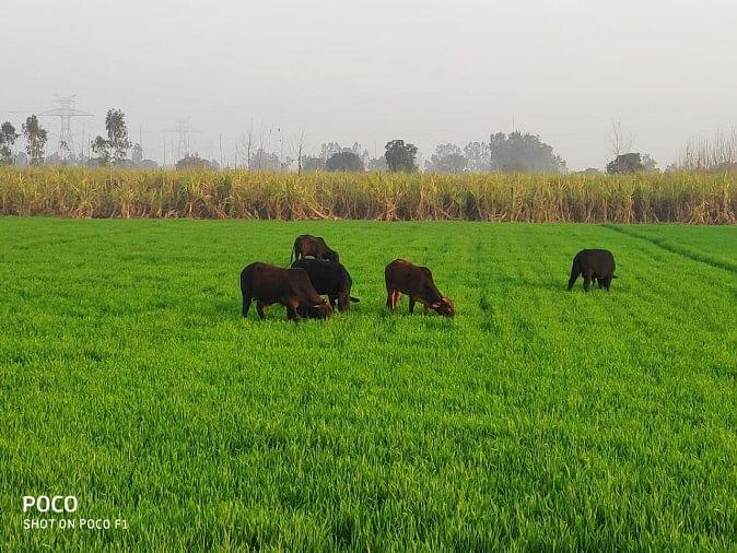 किसान गेहूं की फसल बर्बाद होने से चिंतित