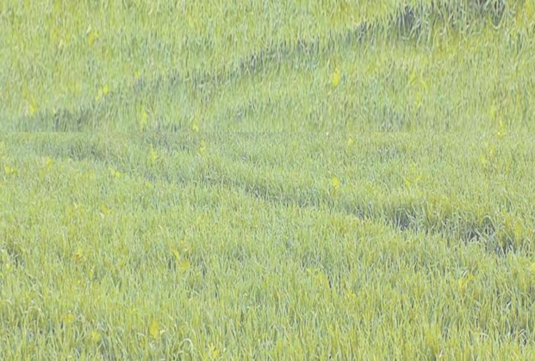 गेहूं की 70 फीसदी फसल सूखे की चपेट में