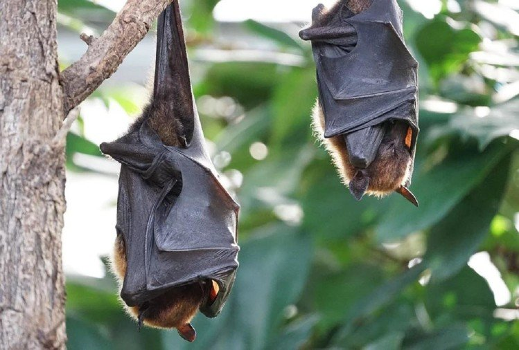 Why Do Bats Hang Upside Down Reason Behind This - आखिर चमगादड़ पेड़ पर  उल्टा क्यों लटके रहते हैं? जान लीजिए ये रहस्य - Amar Ujala Hindi News Live