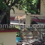 almora : leopard hide in khandahar near village