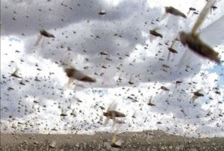 Locusts Groups Will Attack In Agra Farm - अब जयपुर से आ ...