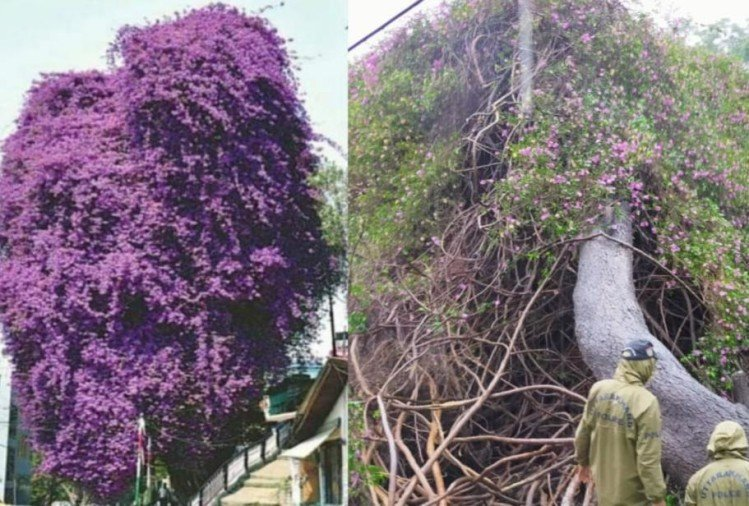 Bougainvillea tree more than two hundred year old tree falls due to rain