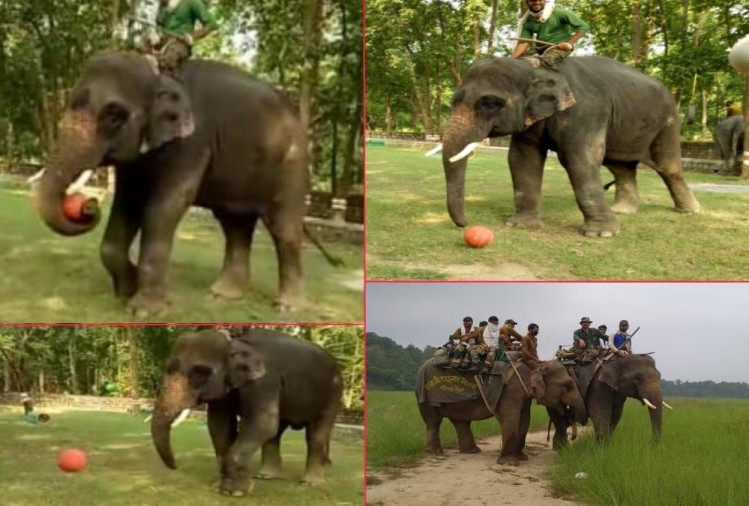 Elephant who Killed Four People Now playing Football In haridwar Raja ji tiger Reserve