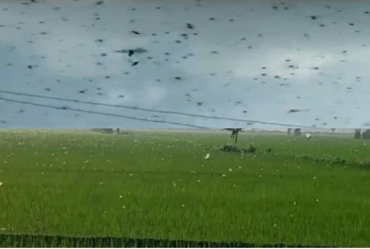 Locust attack in Uttarakhand: Locust swarm comes in uttarakhand from nepal border, know How save Crops