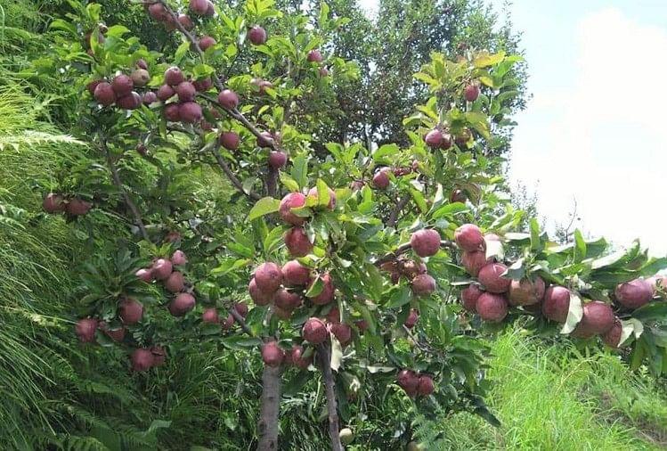 सरकारी जमीन पर पंचायतें लगाएंगी सेब के बगीचे