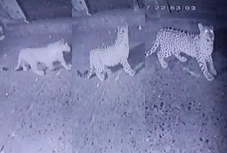 Uttarakhand: Three Leopard Walked in Market area in Pithoragarh, Captured In Cctv Photos