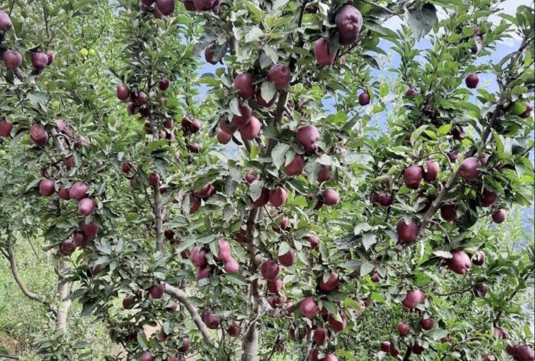 वैज्ञानिकों ने बीमारी रोधक रूट स्टॉक किए विकसित, सेब उत्पादकों को राहत