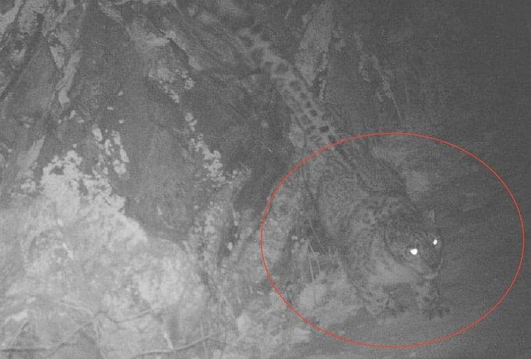 जनजातीय क्षेत्र पांगी के टरूंडा में मिले बर्फानी तेंदुआ होने के प्रमाण