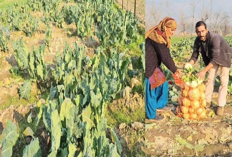 गोभी की कीमतें गिरने से किसान बेहाल, किसान से दो रुपये किलो बाजार में 20 से 25 रुपये  दाम