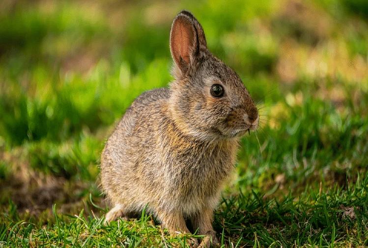 खरगोश (प्रतीकात्मक तस्वीर)