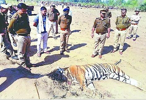 शस को नहीं ले जा सके तो बाघ की मूंछ के बाल काट ले गए शिकारी