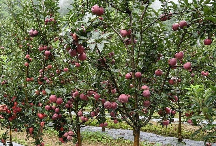 सेब कारोबार पहली बार 500 करोड़ रुपये कम हो सकता है