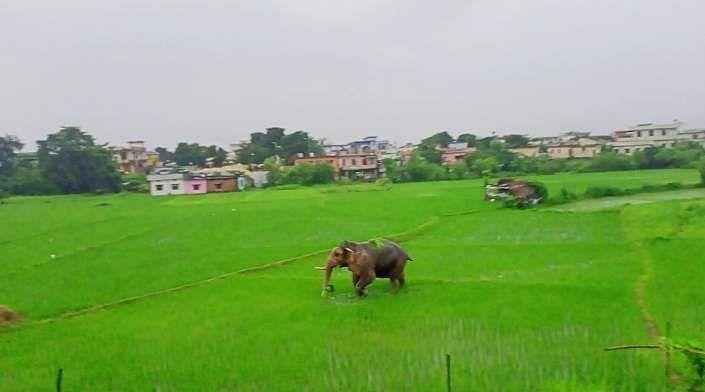 खदरी में धान के खेतों में घूमते हाथी।