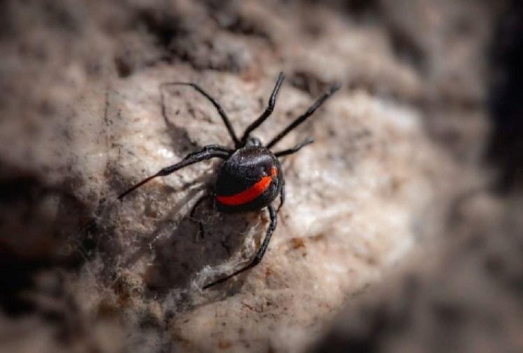 ये हैं दुनिया की सबसे खतरनाक मकड़ियां, पल भर में ले सकती हैं किसी की भी जान